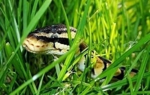 meaning-dream-vipers-snakes-in-grass-garden-backyard
