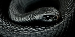 what does it mean dreaming black snakes
