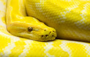 meaning-yellow-snake-viper-dream