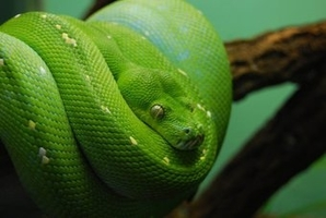 meaning-dream-green-vipers-snakes-boas