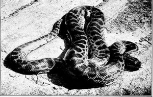 meaning-dream-big-vipers-snakes-anacondas