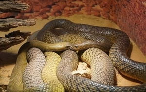 meaning-dream-nest-many-vipers-snakes