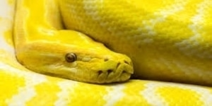 what does it mean dreaming yellow snakes