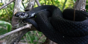 what meaning dream black snake bites my right hand