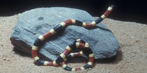 meaning of dreaming with coral snakes